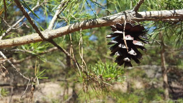 Pine cones have layers too by sahzafraz