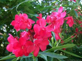 Nerium Oleander flowers by the4ce