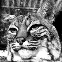 A Bobcat Black and White by fennecx