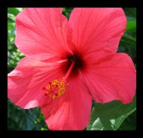 Red Hibiscus by VioletRosePetals