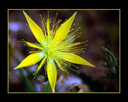 Blazingstar Desert Flower II by houstonryan