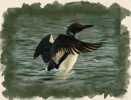 Common Loon by EWilloughby