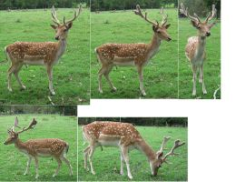 Spotted Fallow Deer stock 1 by greenzaku