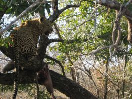 Leopard in tree 2 by FluffyBlueCow
