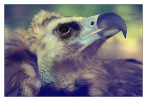 20110509215- Cinereous Vulture by ladyhawk21