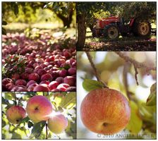 Picking Apples by alucier