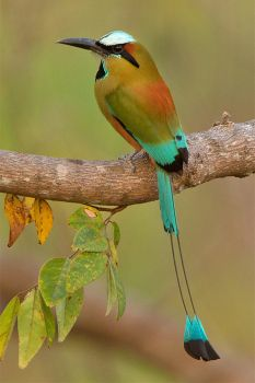 Turquoise-browed Motmot by Jamie-MacArthur