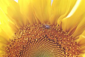 Bee and Sunflower by photozz