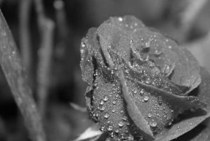 Raindrops On Roses. by lizjames