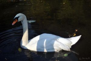 Beauty swan by MatiasBloodbones