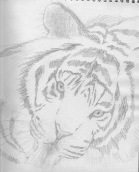 Tiger Sketch by arzasfanelia