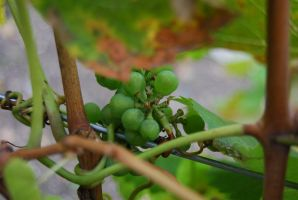Grapes of autumn by Dorian-Gray7