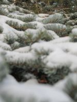 snow on the pines by xdancingintherain