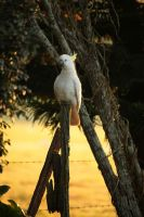 Sulphur Crested Cockatoo by MaNik-ImAgE