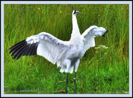 Whooping Crane 2 by ariseandrejoice