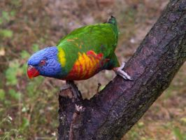 Rainbow Lorikeet 01 by animalphotos