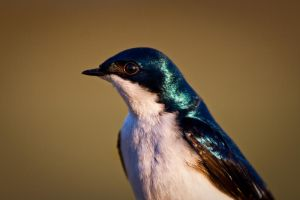 Tree Swallow by drclaw27