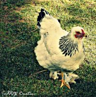 Sassy The Chicken by forgivenfate