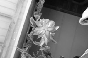 Cactus plant flower in black and white... by RBrownKreationz