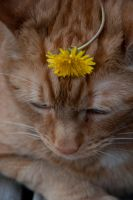 Kittys Dandelion 01 by Suinaliath