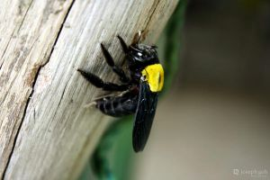 Carpenter Bee by josgoh