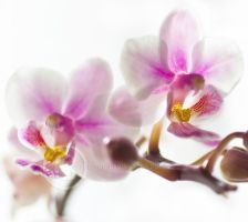 Orchids by eyedesign