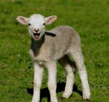 2007 Lambs 4 by Punnishment