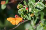 Julia butterfly nectaring 2 by CyclicalCore