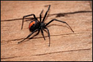Redback by tspargo-photography