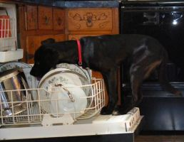 Dog licking Dishes by Poulterghiest