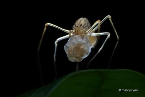 Spitting Spider with Egg Sac by melvynyeo