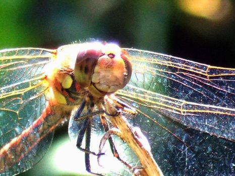 Dragonfly close up by Dragon-flame13