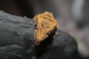 Pickles the crested Gecko by the-food-stealer