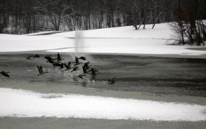 Geese Take Off by rotbearer