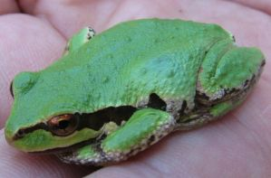 small green frog by Finnish-Viking