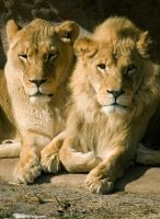 she and he lions. by theycome