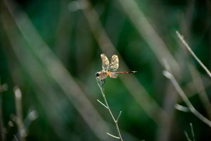 Dragon Fly by MontgomeryKern