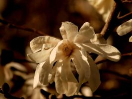 Magnolia in spring 3 by Elsabet917