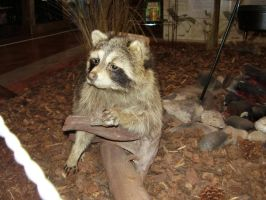 Racoon 4 by gothfiend-stock