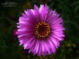 Pink flower by adunio-photos
