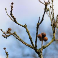 Oak Apple Galls by WestLothian