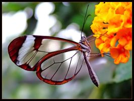 The glass butterfly by JohnWatsonYourFace