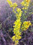 Yellow Branches by Child-of-Minerva