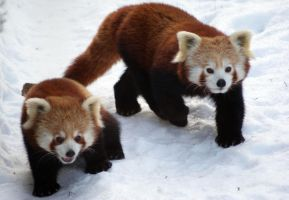 Red Pandas 2 by Vertor