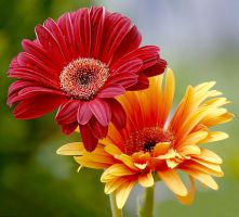 red and yellow gerbera by SvitakovaEva