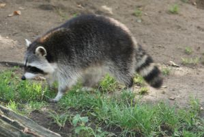 racoon in cologne Zoo 6 by ingeline-art