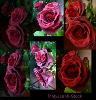 Rose Stock 7 by Melyssah6-Stock
