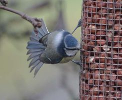 acrobatic bluetit by piglet365