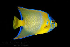 Holacanthus ciliaris by Mantide
