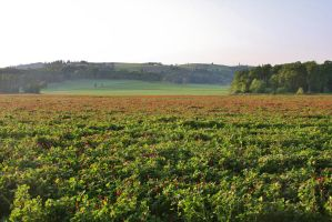 Field of Red Clover by ArtistStock